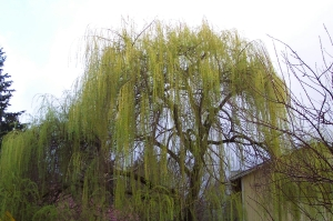 A willow providing the first hint of spring