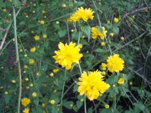 Kerria Japonica in all its splendor