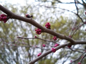 A redbud on the verge of blooming